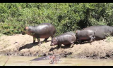 Young Hippos