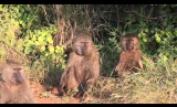 Exploring Baboon Society