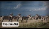 Live Chat with Dan Rubenstein: Zebra and Great Grevy's Rally Expert
