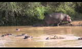 Hippo Swimming