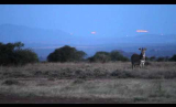 Grevy's Zebras at Night
