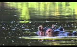 Hippo Semi-submerged