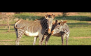 Zebra Research and the Perils of Exporting  Poop