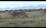 Grevy's Zebras Walking