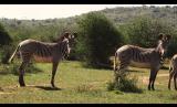 Zebra Highlights