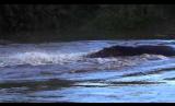 Hippo Confrontation