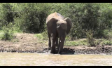 Elephant Splashing
