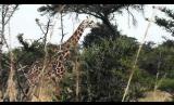 Giraffe Highlights