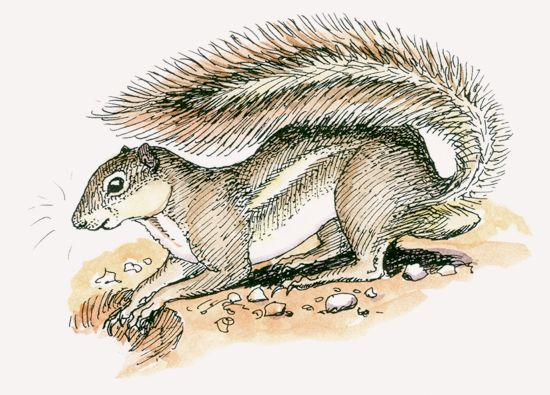 Striped Ground Squirrel