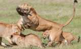 Lions, People, and Prey: Conservation through Science