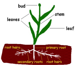 Parts of a Plant