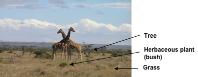 giraffes on savanna