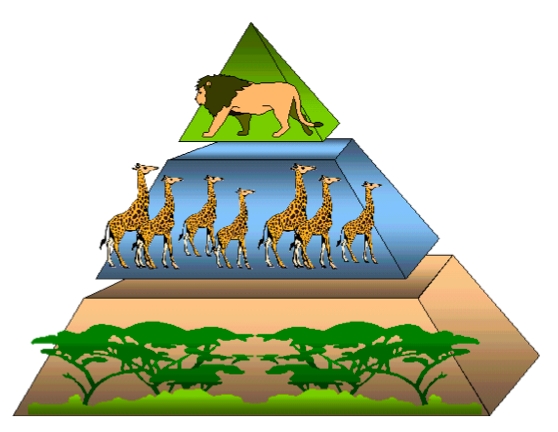 Image Gallery lion food chain pyramid