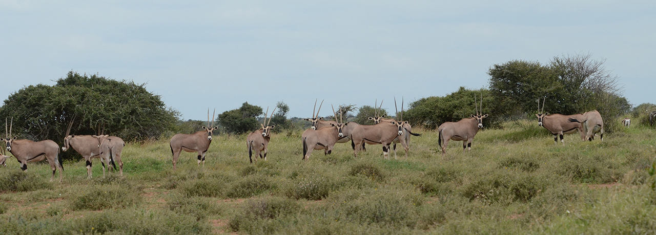 Beisa Oryx