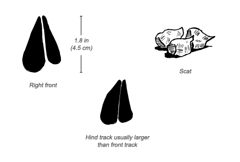 Gerenuk tracks