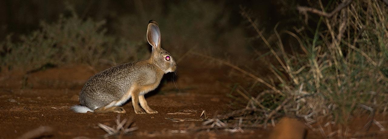 African Savanna Hare