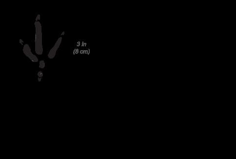 Helmeted Guineafowl tracks